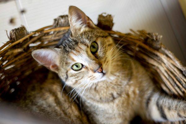 Cortegada - Pinta the Cat